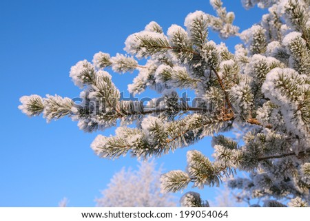 close-up of fir twigs with hoarfrost against a bright blue sky on a cold winter day - stock photo