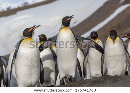 Close up of flock of king penguins in St. Andrews bay - stock photo
