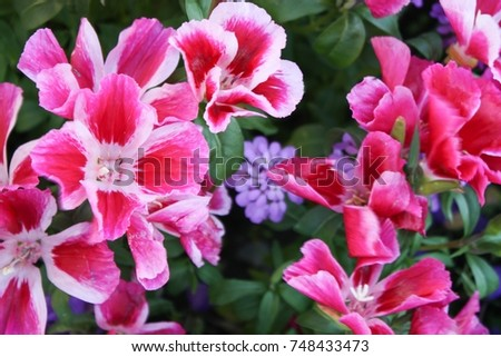 Close flowers colured pink white four stock photo royalty free close up of flowers colured in pink and white with four petals and a mightylinksfo