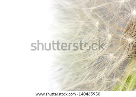 close up of fluff dandelion on white background - stock photo
