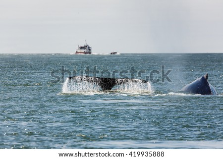 Close-up of Fluke of Mother Gray Whale and baby, a critically endangered species, in San Francisco Bay by the Golden Gate Bridge - stock photo