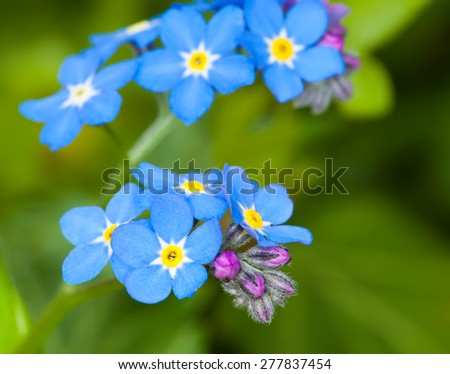 close up of forget me not flower - stock photo