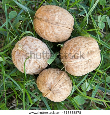 Close-up of four fresh walnuts in the grass