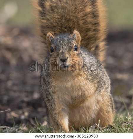 Close up of fox squirrel standing in short grass