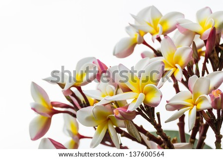 Close up of frangipani flower or Leelawadee flower - stock photo