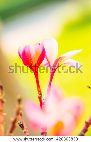 Close up of Frangipani flowers, Thailand