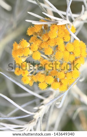 Close up of fresh achillea millefolium or common yarrow - stock photo