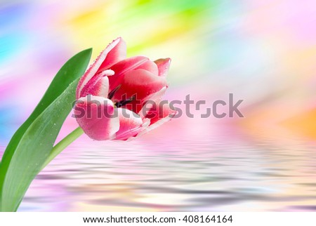 Close up of fresh beautiful tulip flowers - stock photo