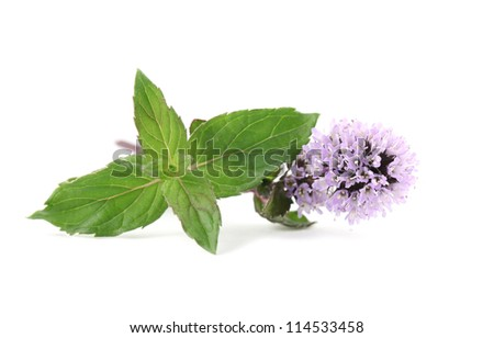 Close-up of fresh blooming mint isolated on white background - stock photo