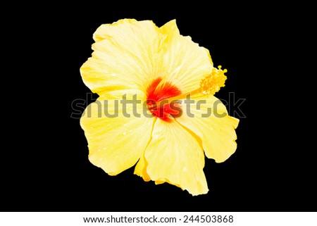 close-up of fresh blooming orange flower, hibiscus isolated on black background - stock photo