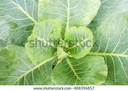 close-up of fresh green cabbage in vegetable garden