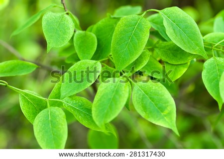 Close up of  fresh green leaves in spring, natural background. - stock photo