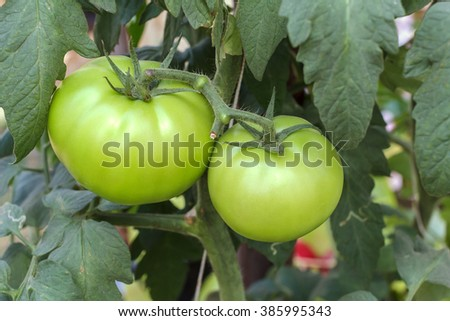 Close up of fresh green tomatoes still on the plant.