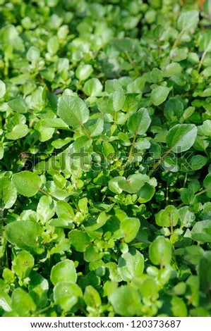Close up of fresh growing water cress