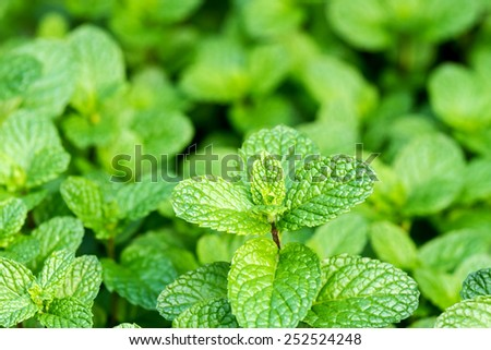 Close up of fresh mints growing in the vegetable garden - stock photo