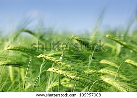 Close up of fresh morning wheat in spring field - stock photo