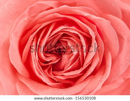 close up of fresh pink rose flower with water drops - stock photo