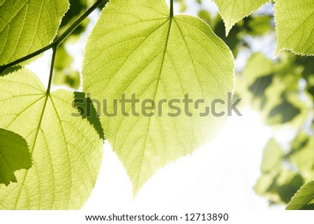 Close up of fresh spring foliage and the sun