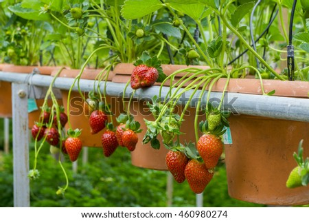Close up of fresh strawberries plant in the farm
