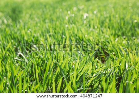 Close up of fresh thick grass with water drops in the early morni