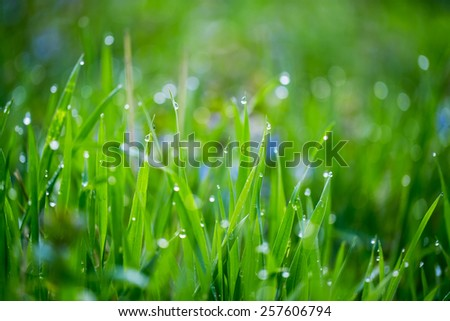 Close up of fresh thick grass with water drops in the early morning - stock photo