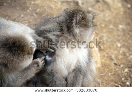 Close up of friendly monkey preening friend for ticks and dirt to help him stay clean - stock photo