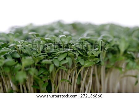 Close up of Garden cress - stock photo