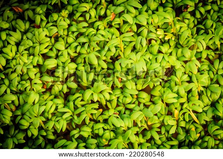 close up of garden cress seedlings watercress sprouts as fresh green food background - stock photo