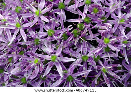 Close up of Garlic purple flower for background