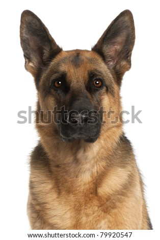 Close-up of German Shepherd Dog, 4 years old, in front of white background - stock photo