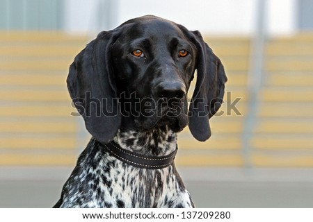Close-up of German Shorthaired Pointer with a beautiful head - stock photo