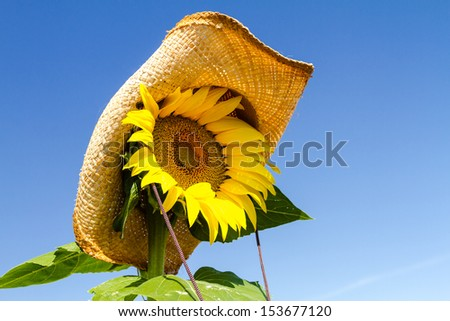 Close up of giant yellow sunflower with straw cowboy hat against bright blue sky - stock photo