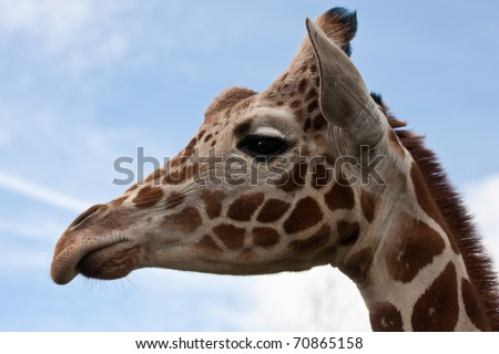 Close-up of giraffe face against blue sky and clouds - stock photo