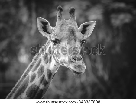 close up of giraffe face , black and white - stock photo