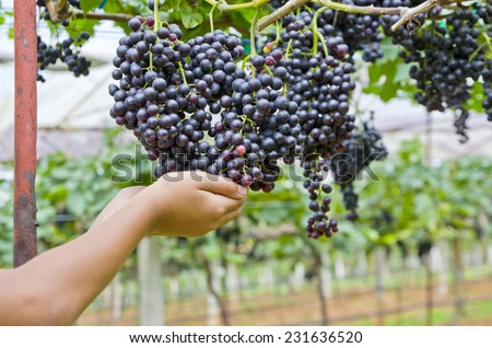 Close up of girl holding a bunch of grapes in a vineyard. - stock photo