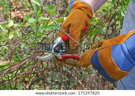 Close up of gloved hands using small pruning shears to prune branches
