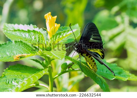 Close up of golden birdwing Butterfly- Troides aeacus kaguya and Trogonoptera with green background