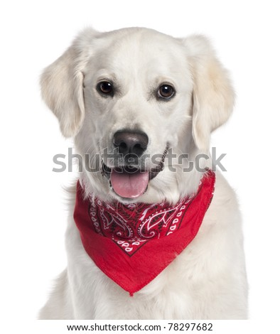 Close-up of Golden Retriever wearing red handkerchief, 9 months old, in front of white background - stock photo