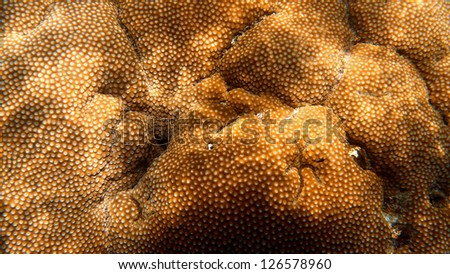 Close up of Golden Star Coral, Koh Tao, Suratthani, Thailand. - stock photo