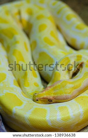 close up of golden thai python - stock photo