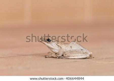 Close up of Golden Tree Frog on brown background - stock photo