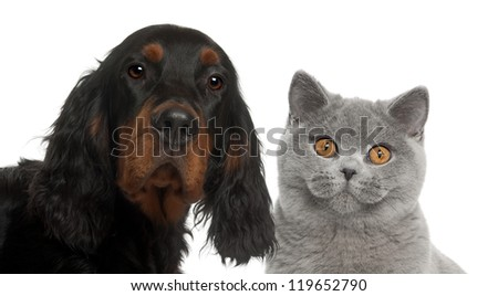 Close-up of Gordon Setter puppy, 6 months old, and British Shorthair against white background - stock photo