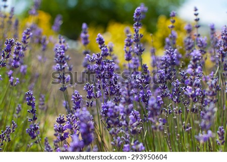 close-up of gorgeous beautiful blooming lavender in napa valley, california - stock photo