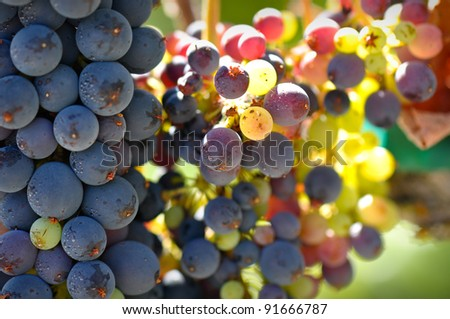 Close Up of Grapes on the Vine