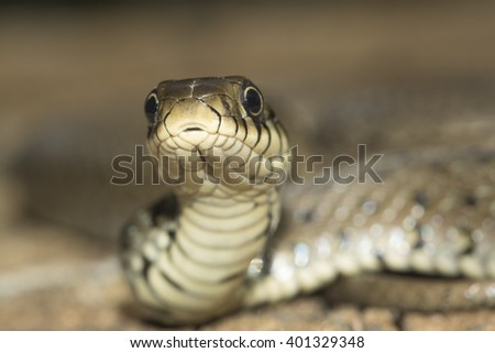 Close up of grass snake, Natrix natrix - stock photo