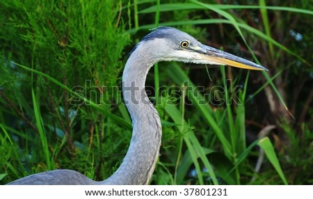 Close up of gray heron (Ardea cinerea) standing between reeds and grasses at dusk