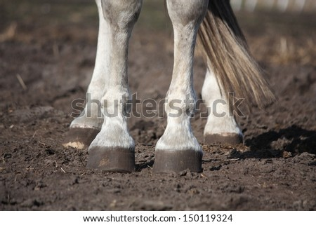 Close up of gray horse legs and hooves - stock photo