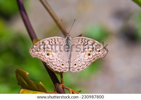 Close up of Gray Pansy or Grey Pansy (Junonia atlites) butterfly in nature, dorsal view