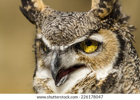 Close up of great horned owl perched on tree branch in early morning sunlight