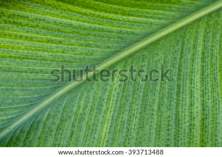 Close up of Green banana leaf background  - stock photo